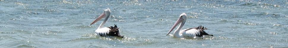 Australien - Pelikane Merimbula